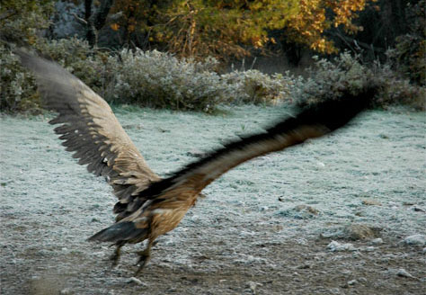 Ένα αρπακτικό ανοίγει τα φτερά του - I. Κάντας/WWF Ελλάς