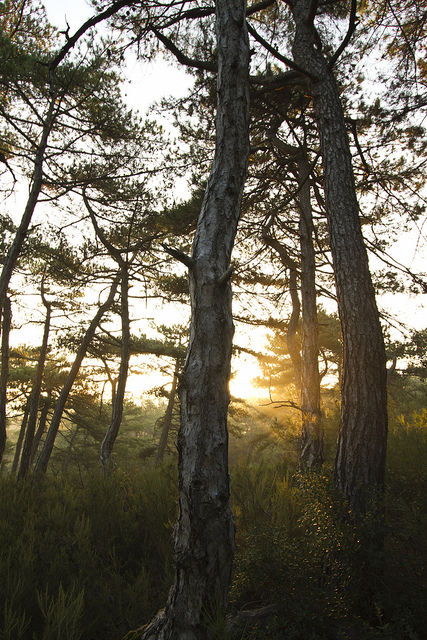 Τα πεύκα στο ηλιοβασίλεμα - WWF Ελλάς/Α. Bonetti