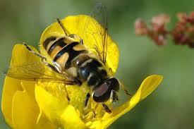 Εικόνα 3. Ένα είδος της οικογένειας Syrphidae, το Myathropa florea