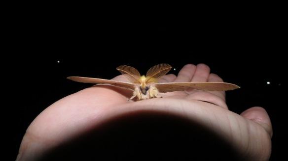 Εικόνα 7. Ο πιο ξεχωριστός μας επισκέπτης, του είδους Pericomena caecigena. Η κοινή του ονομασία στα αγγλικά είναι Autumn Empero moth και το άνοιγμα φτερών του φτάνει τα 9 εκατοστά/ M. Pita