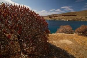 Euphorbia dendroides το καλοκαίρι/WWF Ελλάς Andrea Bonetti