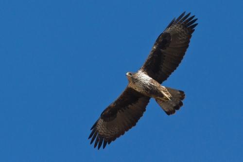 Hieraaetus fasciatus - Bonelli's Eagle - Σπιζαετός