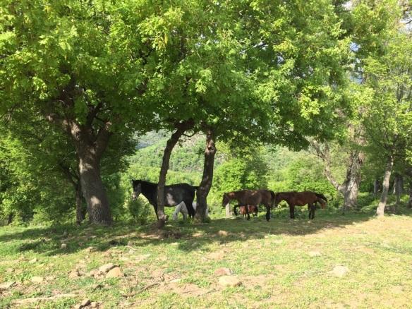 Είδαμε τα άγρια άλογα, στον Κομψάτο στη Ροδόπη.