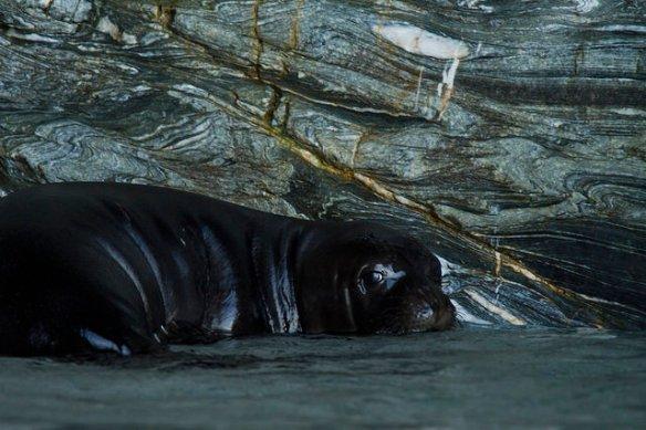 Η μεσογειακή φώκια αναζητά καταφύγιο στην απομόνωση της Γυάρου. ©Andrea Bonetti/WWF Ελλάς