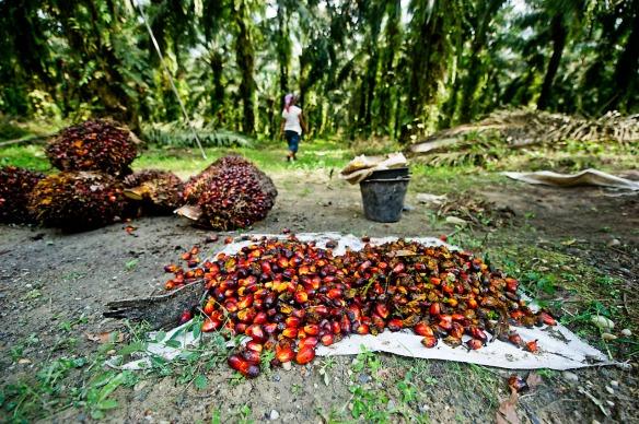 Η συγκομιδή για παραγωγή φοινικέλαιου γίνεται ακόμα με το χέρι και δίνει θέσεις εργασίας στις αναπτυσσόμενες χώρες. © James Morgan  / WWF-International